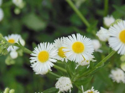 野生洋甘菊, 绿色, 白色, 自然, 黛西, 夏季, 植物