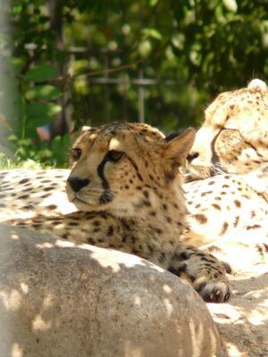 猎豹, 猫, 捕食者, 毛皮, 风险, 休息, 陆地动物