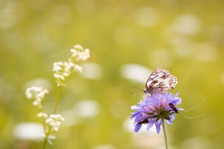 蝴蝶, 棋盘上的蝴蝶, 妇女委员会, edelfalter, 夏季, 草甸, 花草甸