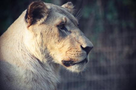 狮子, 动物, 猫, 母狮, 女性, 捕食者, 大猫