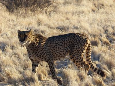 猎豹, 优雅, 野猫