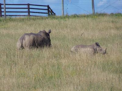 犀牛, 南白犀牛, 荒野, 非洲, 野生动物, 养护, 犀牛