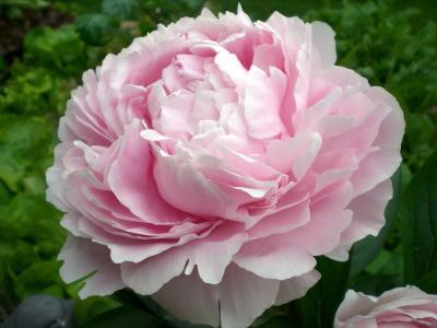 牡丹, 开花, 绽放, 观赏植物, 双花, 粉色, 自然