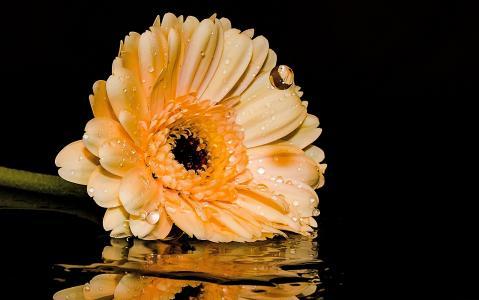 非洲菊, 花, 开花, 绽放, 复合材料, 花瓣, 橙色