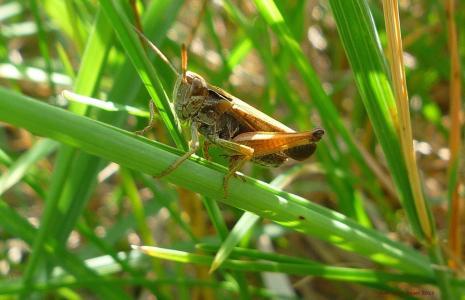 蚱蜢, 昆虫, 棕色, 坐, 草, 叶子, 植物