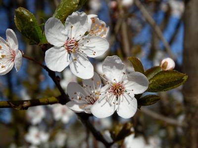 樱花, 花, 春天, 白色, 关闭, 绽放, 树