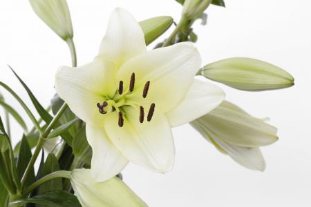 百合, 开花, 绽放, 花, 白色, 绿色, 关闭