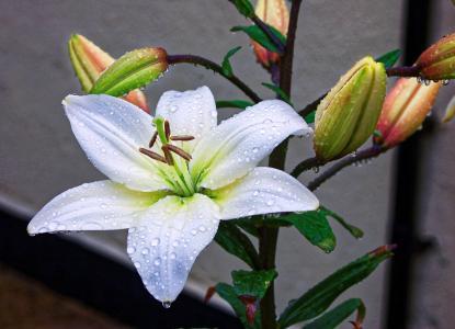 百合, 花, 黄色, 绿色, 自然, 植物, 花香