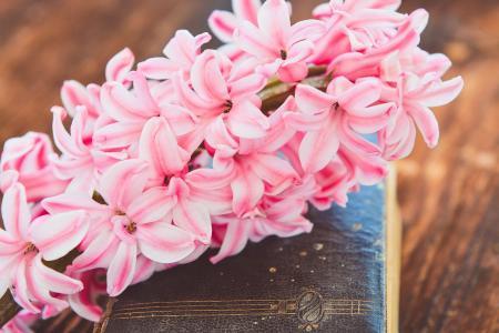 风信子, 花, 花, 粉色, 香, 香美的鲜花, 春天的花朵