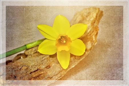 水仙, 黄色, 花, 植物, 黄色的花, 开花, 绽放