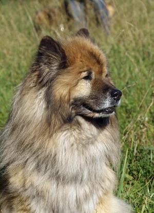 欧亚, 肖像, 友好, 小狗看起来, 关闭, 明亮的外套, 狗的头