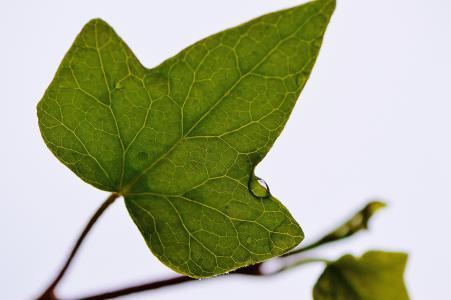 叶, 常春藤, 植物, 自然, 绿色, 背景