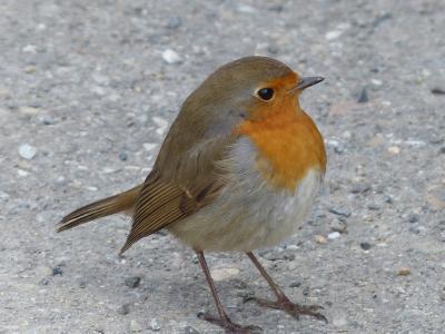 鸟, 知更鸟, 动物, erithacus rubecula, 物种, 旧世界鹟, 科