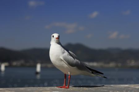 云南省, 滇池, 嘴鸥, 鸟, 一种动物, 野生动物, 在野外的动物