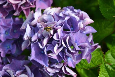 绣球花, 紫色, 绿色, 秋天, 花, 花园, 花