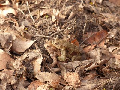 蟾蜍, 蟾蜍迁移, 春天, 蟾蜍