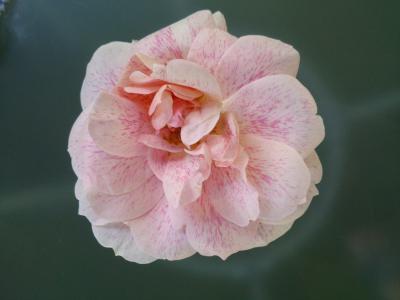 上升, 花园, 玫瑰绽放, 香味
