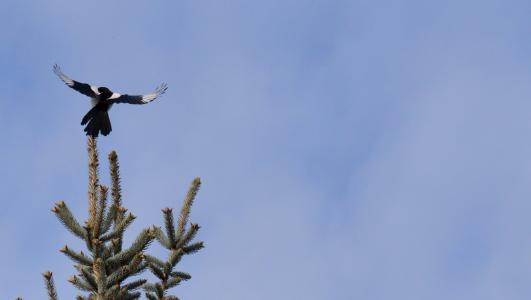 elster, 飞行, 羽毛, 鸟, 渡鸦鸟, 蓝蓝的天空, 动物