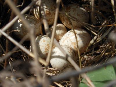 鸟巢, 野生, 大道, 鹧鸪, 鸡蛋, 鸟类, 分支机构