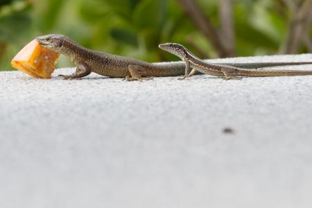 蜥蜴, 喂养, 马德拉岛