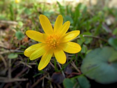花, 春天, 春天植物, 黄色, 植物, 春天的标志, 黄色的花
