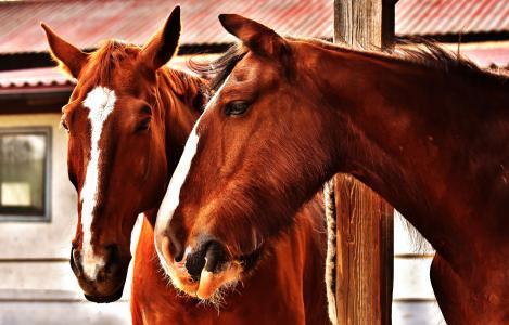 马, 友谊, 马槽枥, 郡马, 动物, 两个, pferdeportrait
