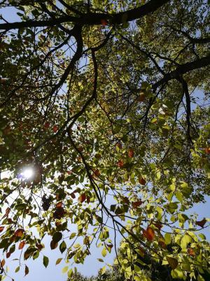 樟脑叶, 叶子, 阳光, 风景, 材料, 自然, 植物