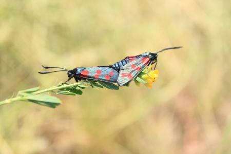 黑色, 蝴蝶, 蝴蝶, 交配, 点, 交配, 九-斑点