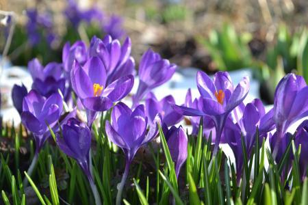 番红花, 花, 春天, 花园, 紫色, 草甸, 自然