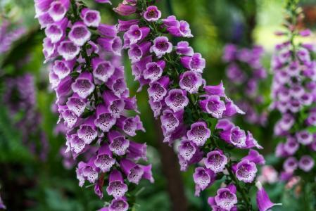 紫色毛地黄属植物