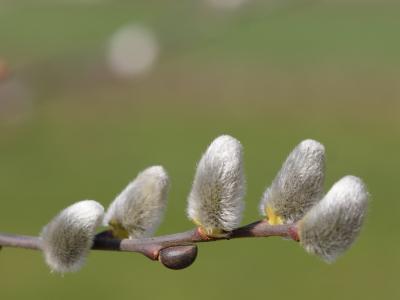 春天, 有毛, 柳絮, 美丽, 天鹅绒般, 绒毛, 接穗