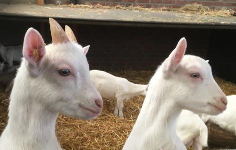 山羊, 孩子, 羔羊, 动物, 农场, 动物世界, 可爱