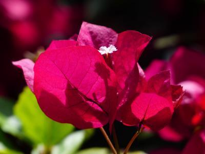 簕杜鹃, 多彩, 花, 红色, 红紫, 集约化, 颜色