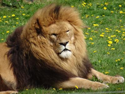 狮子, 约克郡野生动物园, 懒散的我是太阳, 战争创伤