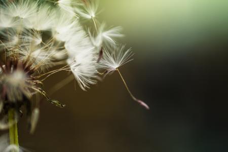 蒲公英, 花, 自然, 植物, 自然, 绿色, 花园