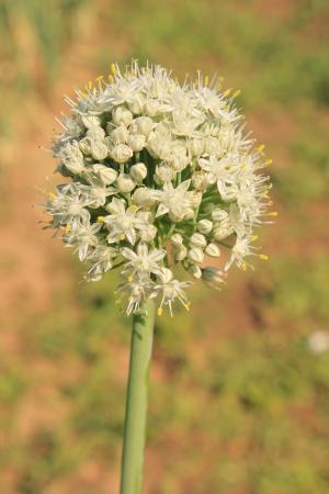 开花, 作物, 地球仪, 洋葱, 种子, 植物, 自然