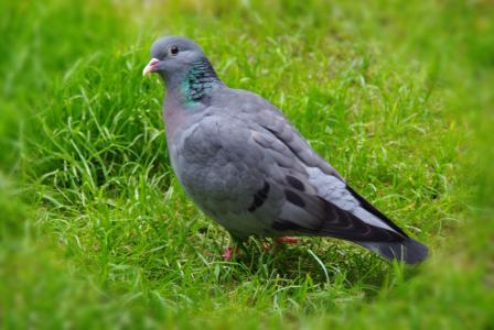 鸽子, 动物, 自然