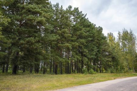 松林, 森林, 针叶林, 树木, 松树, sosnovyi 博尔, 针叶树