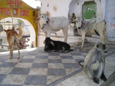 印度, 猴子, 狗, 母牛, 母牛, 动物, 圣洁