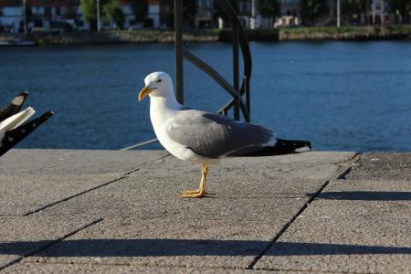 波尔图河, 海鸥, 左前侧
