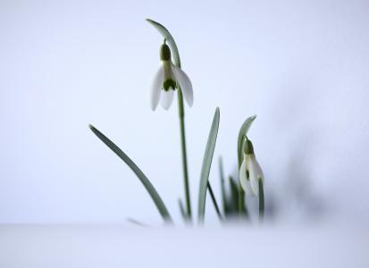 雪莲, 春天的预兆, 白色, 花香, 春天的预兆, 2 月