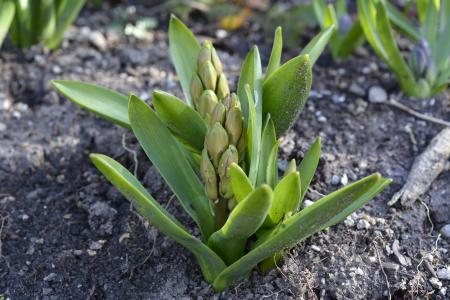 风信子, 花蕾, 春天, 花, 植物, 花园, 芦笋厂
