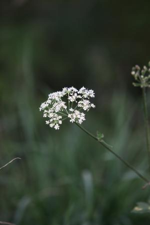 牛欧芹, 野生山, 野生喙欧芹, 凯克, 安妮女王的花边, 白色, 杂草