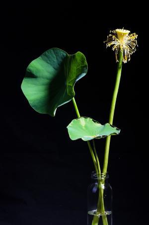 莲花, 植物, 盆栽的植物, 黑色背景, 荷叶