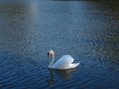天鹅, 湖, 水禽, 羽毛, 鸟类, 鸟, 自然