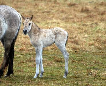 konik 马, 小马驹, 海马, 小马品种, 马