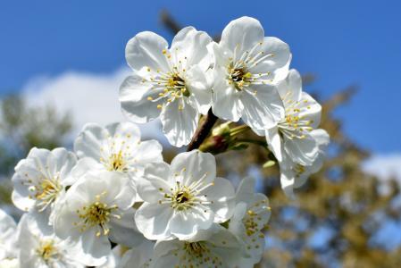 绽放, 开花, 樱花, 植物区系, 花, 宏观, 春天