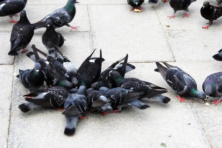 鸽子, 鸟类, 关闭