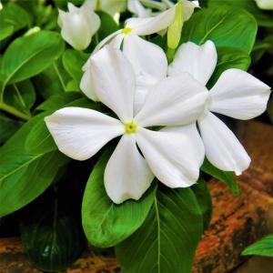 白花, 绽放, 宏观, 绿色
