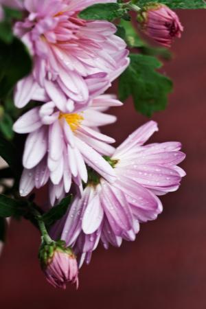 菊花, 花, 花, 植物, 植物, 粉色